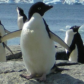Austral and Adorable: Penguins in All Their Weird Glory [Slide Show]