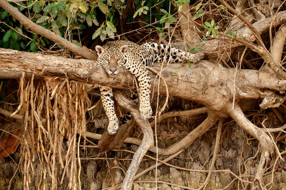 Jaguars Thrive in Lightly Logged Forests