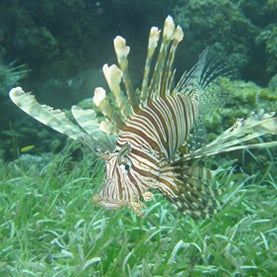 As Lionfish Invade the Caribbean and Gulf of Mexico, Conservationists Say Eat Up [Slide Show]