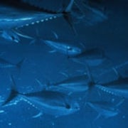 Large Fish Populations Imperiled