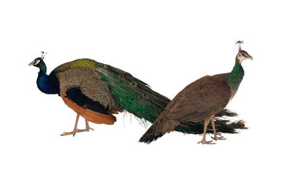 五彩缤纷的孔雀给女性留下美好的印象