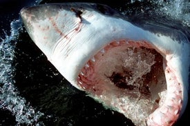 Young Great White Sharks Eat Off the Floor