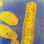 Gut Microbes May Drive Evolution