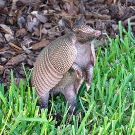 Armadillo Moves North Across a Warmer North America
