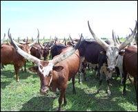 ankole-cattle