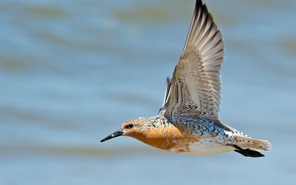 What's Killing the World's Shorebirds?