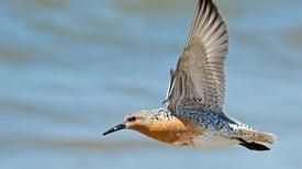 What's Killing the World's Shorebirds?
