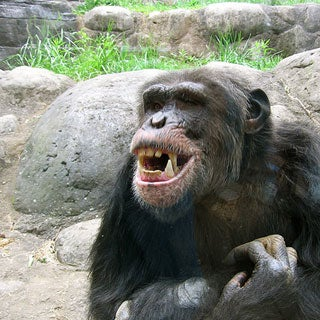 Why would a chimpanzee attack a human?