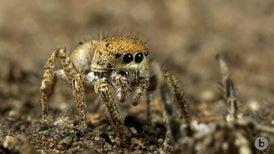 Spiders Perform a Spooky Seduction Dance