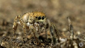 Spiders Perform a Spooky Seduction Dance