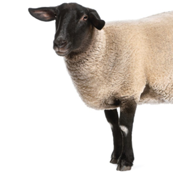 Sheep Help Scientists Fight Huntington's Disease
