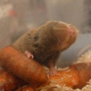 Cancer Immunity Insights Might Derive from Study of Blind Mole Rats