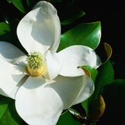 Revealed: The First Flower, 140-million Years Old, Looked Like a Magnolia