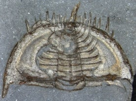 illustration of a trilobite fossil