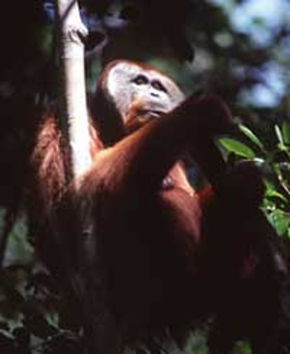 The Cultured Orangutan
