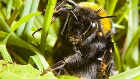 Bumblebee Queens Prefer Layovers to Nonstop Flights