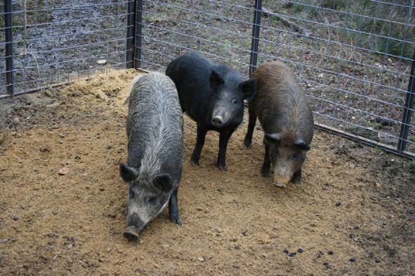 can wild pigs ravaging the us be stopped