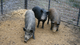 Can Wild Pigs Ravaging the U.S. Be Stopped?