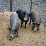 Can Wild Pigs Ravaging U.S. Be Stopped?