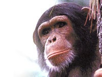 Scientists Unravel Roots of AIDS-like Virus in Chimpanzees