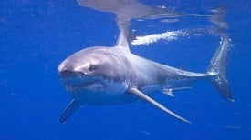 New Shark Week Film Shows Rarely Seen Sharks of Cuba
