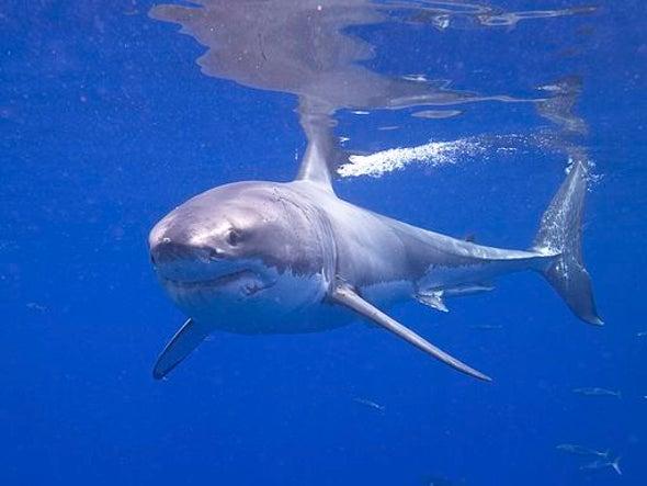 New Shark Week Film Shows Rarely Seen Sharks of Cuba