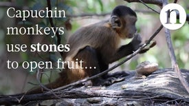 Monkeys Can Make Stone Tools, Too