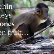 Monkeys can make stone tools too