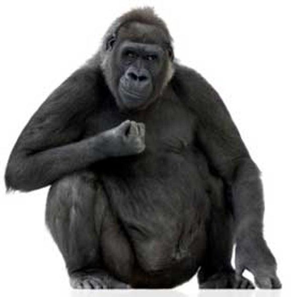 Human Malaria Parasite Arose from Gorillas, Not Chimps