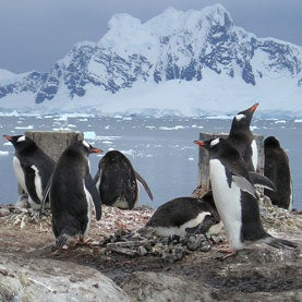 Posing penguins