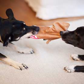 two small dogs fight over a leather glove