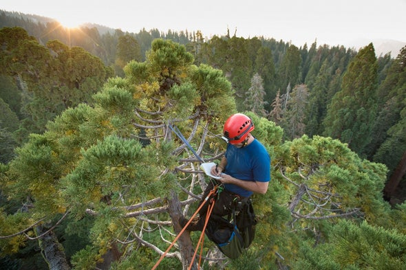 Are Giant Sequoia Trees Succumbing To Drought