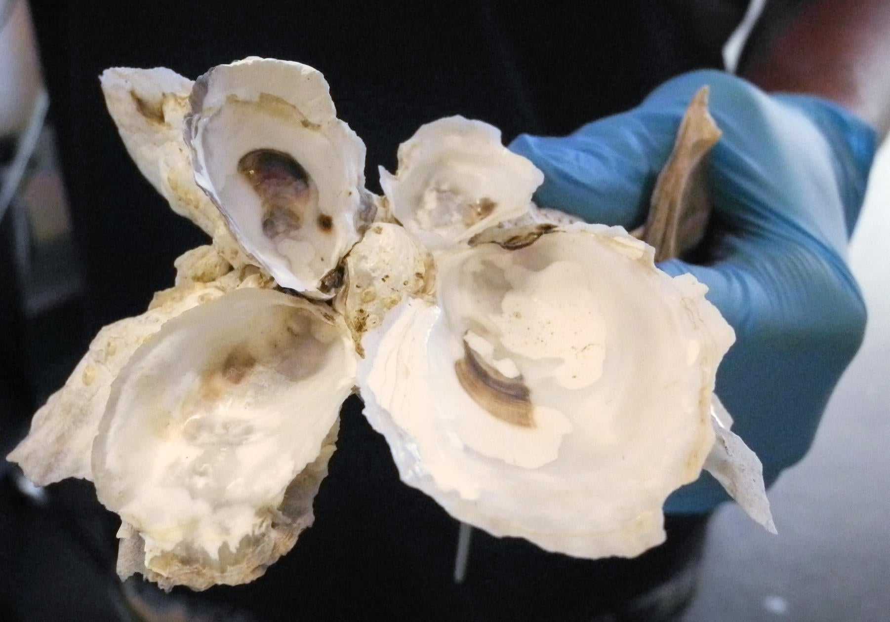 Saved from Shuckers, Oysters Fight Rising Seas
