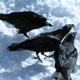 """Ravens Use """"Hand"""" Gestures to Communicate"""