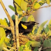 YELLOW-SHOULDERED BLACKBIRD