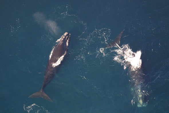 Whales Saved by Ship Speed Limits