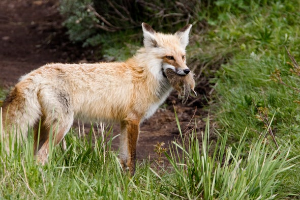 Foxes Have Dined on Our Leftovers for 30,000 Years