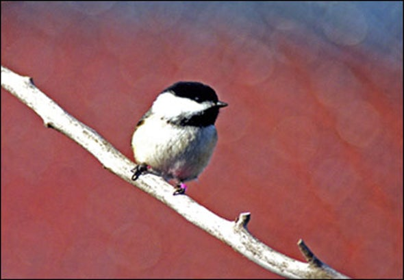 Alarmed Chickadees