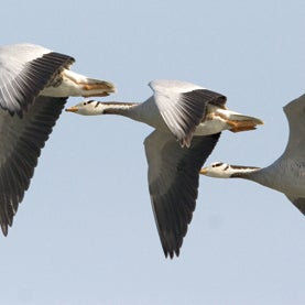 How Bar-Headed Geese Scale the Himalayas