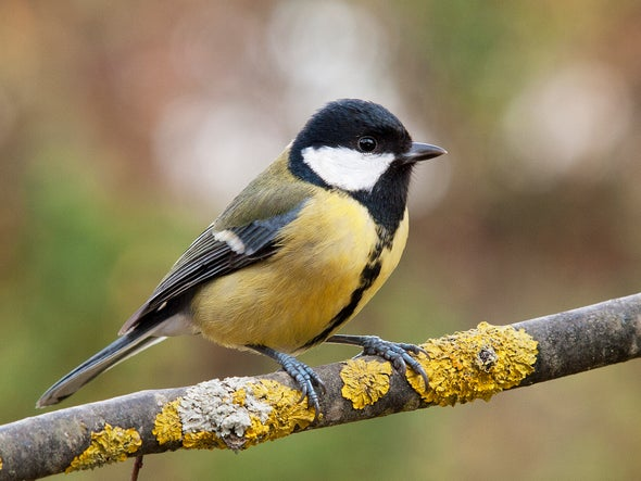 Bold and Aggressive Behavior Means Birds Thrive in Cities