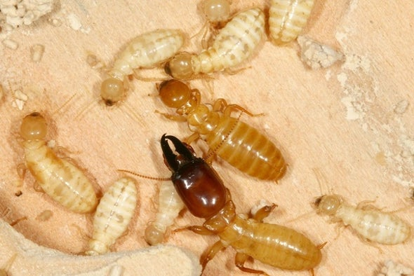 "Termite Genome Reveals Details of ""Caste System"""