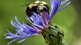 Loss of Just 1 Pollinator Species Harms Plants