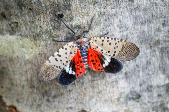 How You Can Help Stop Invasive Spotted Lanternflies