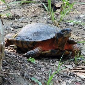 Turtle Roadway Mortality Study