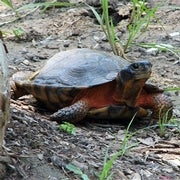 Turtle Roadway Mortality Study