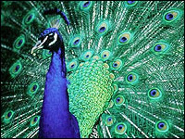 Scientists Unravel Peacock's Beauty Secrets