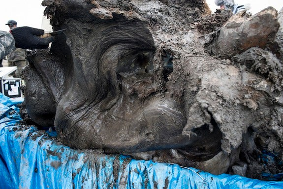 Fresh Mammoth Carcass from Siberia Holds Many Secrets
