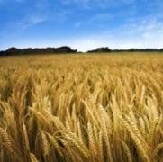 Global Wheat Crop Threatened by Fungus: A Q&A with Han Joachim Braun
