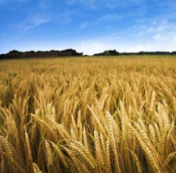 Global Wheat Crop Threatened by Fungus: A Q&A with Han Joachim Braun