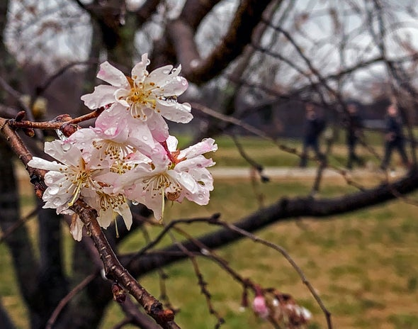 Cherry Blossoms Are Popping Out Early Because of Warming